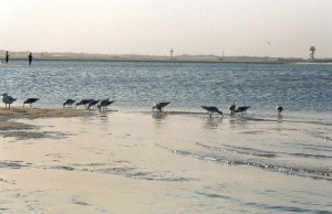 2003:  Shorebirds feeding at Penrhyn Spit