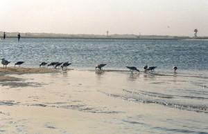 2003:  Shorebirds feeding at Penrhyn Spit